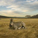 2-zebra