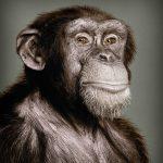 chimp-sq-pp