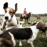 Group of hounds before a hunt