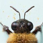 bee-head-crop